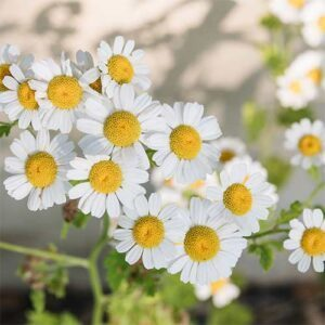 Digestion And Emotions - Chamomile Flower Remedy