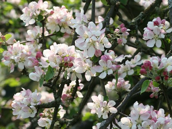 Acne & Skin Conditions Formula Using Crab Apple Flower Remedy