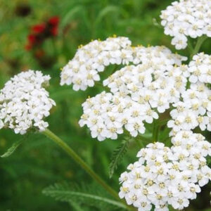 Electromagnetic Pollution Protection White Yarrow Flower Remedy Formula